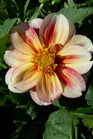 /Images/johnsonnursery/product-images/Dahlia Dalaya Shari2050417_oz6xjpcfv.jpg