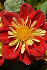 /Images/johnsonnursery/product-images/Dahlia Starsister Scarlet Yellow_4kfg9ipun.JPG