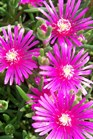 /Images/johnsonnursery/product-images/Delosperma_cooperi042407_h4efurtbn.jpg
