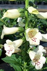 /Images/johnsonnursery/product-images/Digitalis Camalot Cream041508_2aws9k0i7.jpg