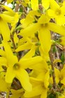 /Images/johnsonnursery/product-images/Forsythia Lynwood Gold_pnxm75lgj.jpg