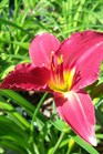 /Images/johnsonnursery/product-images/Hemerocallis Ruby Stella051407_wp5xstvkv.jpg