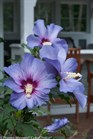 /Images/johnsonnursery/product-images/Hibiscus Azzurri Blue Satin 2_0tux7zw6b.jpg