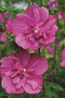 /Images/johnsonnursery/product-images/Hibiscus_Magenta_Chiffon_bloom_g7c651583.jpg