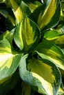 /Images/johnsonnursery/product-images/Hosta Beach Boy2050817_q4bhq7bhm.jpg