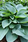 /Images/johnsonnursery/product-images/Hosta Empress Wu_5v8jddjt9.jpg