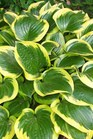 /Images/johnsonnursery/product-images/Hosta Queen Josephene2_6im3ou4mc.jpg