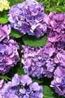 /Images/johnsonnursery/product-images/Hydrangea Avalee Bowman_wwpki4dco.jpg