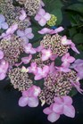 /Images/johnsonnursery/product-images/Hydrangea Twist n Shout3051611_tvxxqfopx.jpg