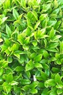 /Images/johnsonnursery/product-images/Ilex Carissa foliage_as06dpx0x.jpg