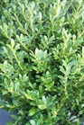 /Images/johnsonnursery/product-images/Ilex Hoogendorn021005_f0bxw32oj.jpg