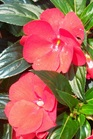 /Images/johnsonnursery/product-images/Impatiens Super Sonic Red052405_4poraz5re.jpg