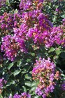 /Images/johnsonnursery/product-images/Lagerstroemia Purple Magic072312_5ccqci01w.jpg