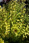 /Images/johnsonnursery/product-images/Ligustrum Sunshine042016_1vw14uiao.jpg