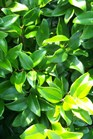 /Images/johnsonnursery/product-images/Ligustrum_japonicum030101_dt066cr3t.jpg