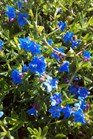 /Images/johnsonnursery/product-images/Lithodora Grace Ward051811_jh5rh64zv.jpg