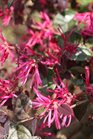 /Images/johnsonnursery/product-images/Loropetalum Jazz Hands Bold_1b6qge5t6.jpg