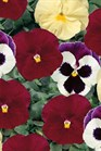 /Images/johnsonnursery/product-images/Pansy Strawberry Shortcake Mix_ke4tdl0vx.jpg