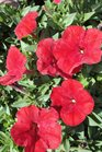 /Images/johnsonnursery/product-images/Petunia Easy Wave Red2040913_82uzs4hdj.jpg