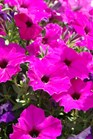 /Images/johnsonnursery/product-images/Petunia Easy Wave Violet MI13_4e4wxcxbx.jpg