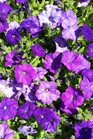 /Images/johnsonnursery/product-images/Petunia Shock Wave Denim2041217_mtfs8th7w.jpg