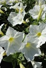 /Images/johnsonnursery/product-images/Petunia Supertunia White Improved053013_8enihjhb2.jpg