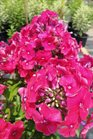 /Images/johnsonnursery/product-images/Phlox Peacock Cherry Red062413_dnua5mbb3.jpg