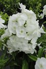 /Images/johnsonnursery/product-images/Phlox Peacock White061113_gpmnt8t1t.jpg