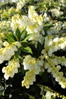 /Images/johnsonnursery/product-images/Pieris Cavatine_v5135lj3u.jpg