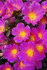 /Images/johnsonnursery/product-images/Portulaca Pazazz Pink Glow062513_mzuhnc6no.jpg