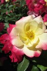 /Images/johnsonnursery/product-images/Rosa Campfire_8zixjchrd.jpg