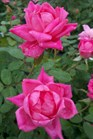 /Images/johnsonnursery/product-images/Rosa Double Pink Knock Out2092111_tfi5ft9oh.jpg