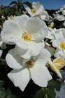 /Images/johnsonnursery/product-images/Rosa White Out051413_t03e3j6ag.jpg