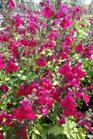/Images/johnsonnursery/product-images/Salvia Heatwave Blaze051713_x4pb70bfp.jpg