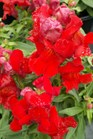 /Images/johnsonnursery/product-images/Snapdragon Montego Scarlet100812_i6x75cqdq.jpg