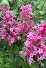 /Images/johnsonnursery/product-images/Syringa Bloomerang Dwarf Pink_pognbjs5g.jpg