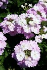 /Images/johnsonnursery/product-images/Verbena EnduraScape White Blush3041316_ll3i3565t.jpg