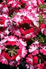 /Images/johnsonnursery/product-images/Verbena Wicked Rad Red041316_zswt50ppi.jpg