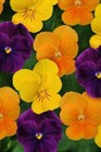 /Images/johnsonnursery/product-images/Viola Sorbet XP Harvest Mix_okef2pkhv.jpg