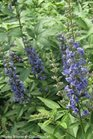 /Images/johnsonnursery/product-images/Vitex Blue Diddley_hnur3vxti.jpg