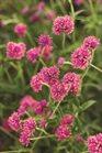 /Images/johnsonnursery/product-images/gomphrena_truffula_pink_59dbcedtw.jpg