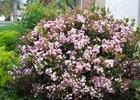 Indian Hawthorne Eleanor Tabor® PP#9398 Rhaphiolepis umbellata 'Eleanor Tabor' PP#9398