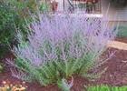 Perovskia - Russian Sage Perovskia atriplicifolia 'Filagran'