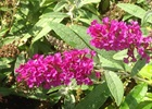 Buddleia Buzz Magenta Buddleja BUZZ™