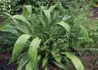 Cast Iron Plant Milky Way Aspidistra elatior