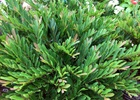 Distylium Vintage Jade Distylium 'Vintage Jade' PP23,128