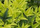 Nandina Lemon Lime Nandina domestica 'Lemon-Lime' PP24749