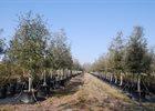 Oak Live Quercus virginiana
