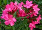 Oleander Pink Nerium oleander 'Pink'