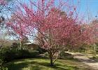 Japanese Flowering Apricot 'Kobe' Prunus mume 'Kobe'